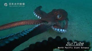 【水中映像】もっと怖いミズダコ Scary North Pacific Giant Octopus again!(Underwater video)