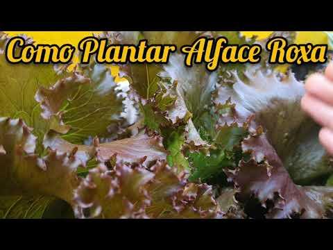 Aprenda a Plantar Alface Roxa em Casa 👨🌾🌱🏡 [Como Plantar Alface]