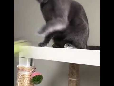 Cat Swipes Toy Frog Off Table