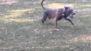 Blue Staffordshire Bull Terriers - Raging Storm