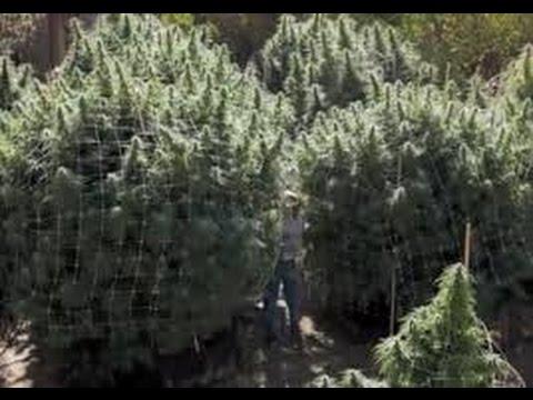 2016  outdoor cannabis grow, harvest time
