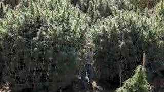 2016  outdoor cannabis grow, harvest time | toysoja 420