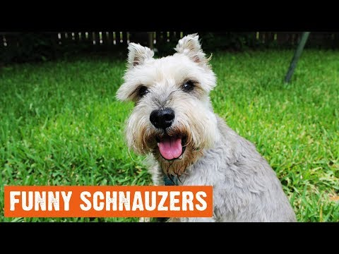 Funny Schnauzers Moments