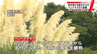 """東京・調布市にある神代植物公園では""""大きなススキ""""パンパスグラスが見..."""