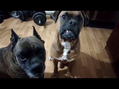 Игривая собака породы боксёр Boxer Dog
