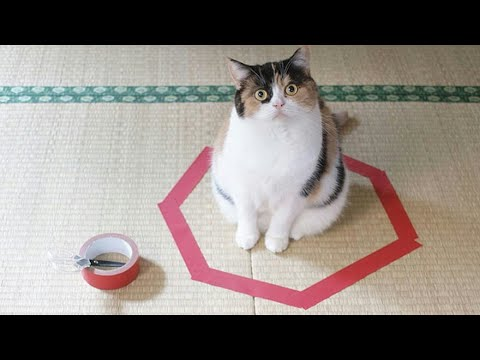 FUNNIEST CAT video Ever - Be CAREFUL , you may not stop LAUGHING