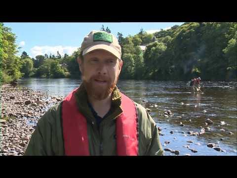 STV News - Invasive Pacific Salmon Caught In Scots Rivers
