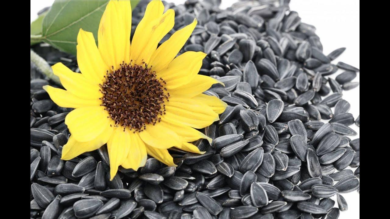 фото семена подсолнечника