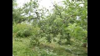 りんご園乗用草刈り機で作業中