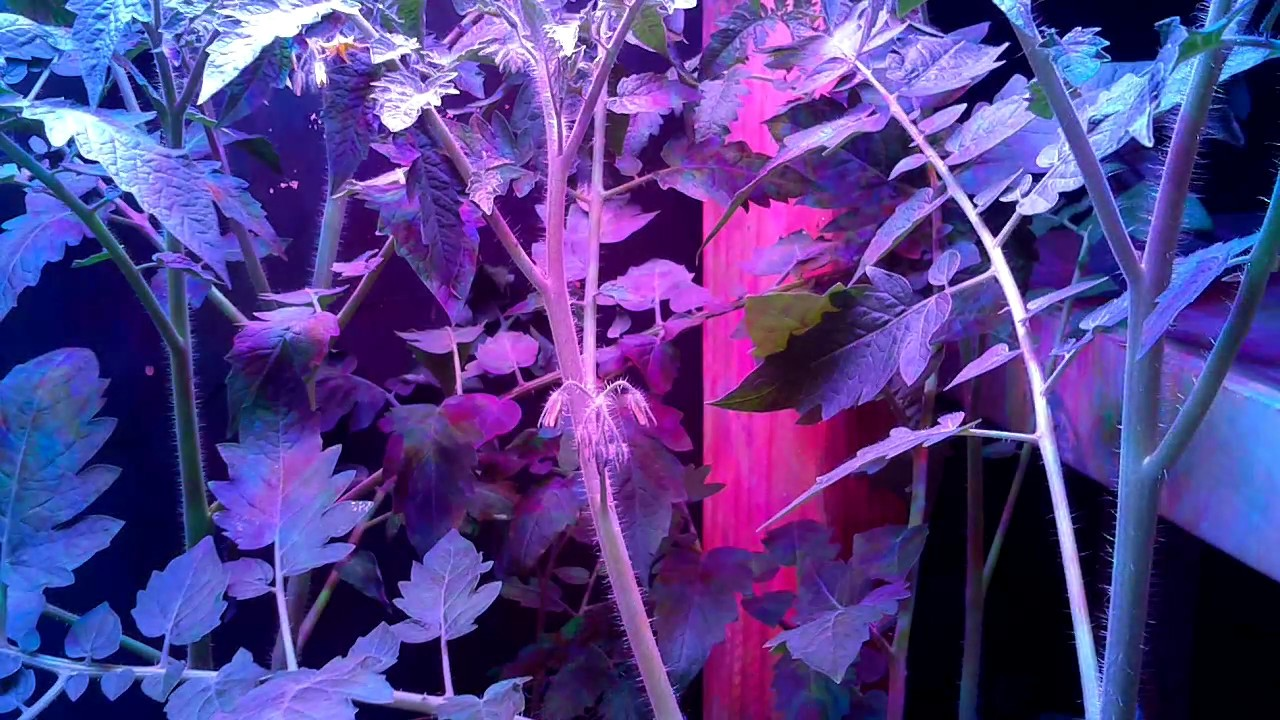 Raspberry Pi 3 Time Lapse of Tomatoes Flowering and Pollinating Video 3 -  Under DIY LED Lights