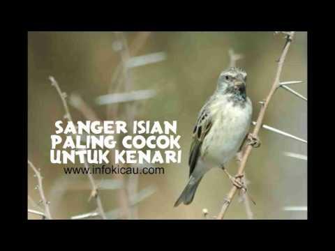 Download Lagu masteran kenari cengkok juara paling cocok isian edel sanger