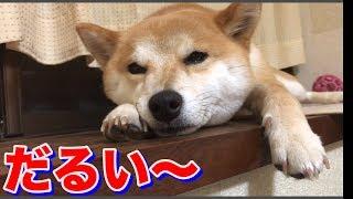 だれすぎな柴犬ハナの大きな鼻息 -- Shiba is bored.-- thumbnail