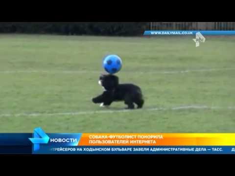 Собака, которая лучше всех четвероногих играет в футбол, поразила пользователей Сети