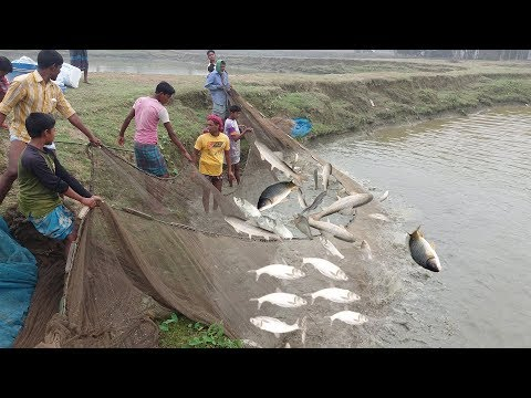 Thousands Of Big Fishes Jumping Out Of Water At Same Time Fish Catching Video Using The Fishing Net