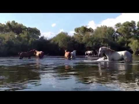 Herd of Wild Horses Frolic in Salt River (Mesa, AZ)