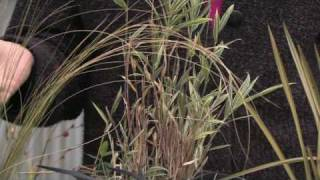 How to Grow Grass : How to Grow Ornamental Grass From Seed