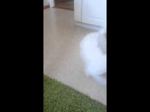 Knäpp katt jagar sin svans!