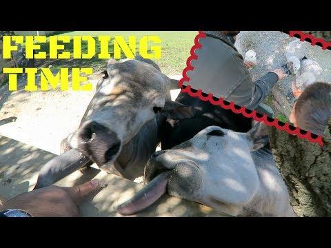 Animal Feeding at Willowbank NZ with FZ - Nov 5, 2017