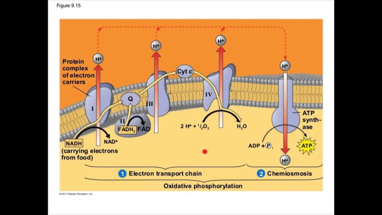 electron transport chain diagram for dummies fender american standard strat hh wiring cellular respiration part 2 youtube