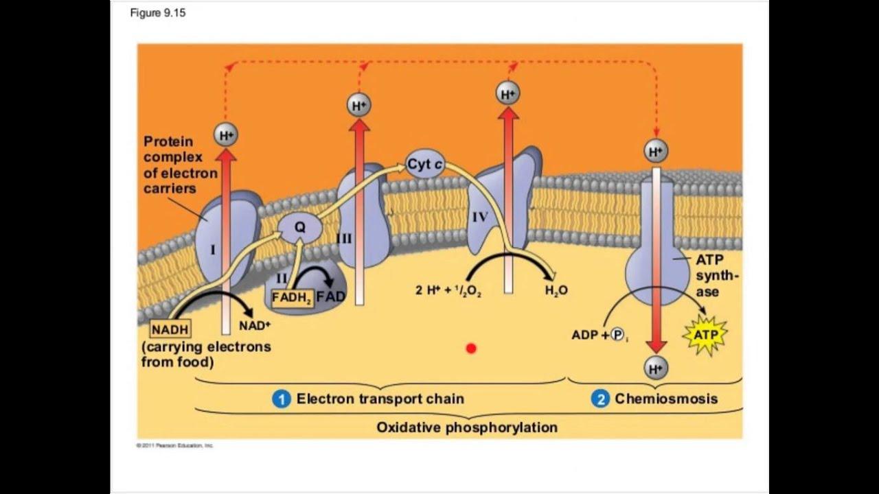 Cellular Respiration Part 2