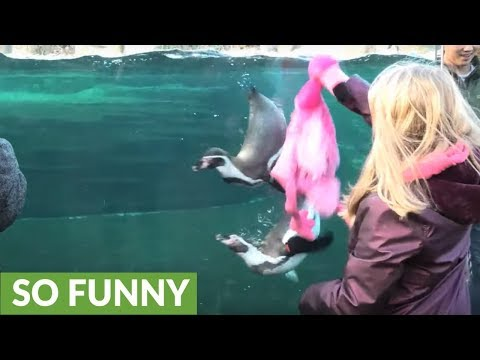 Kid entertains penguins with pink stuffed animal