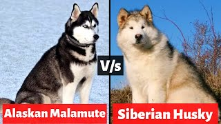 Malamute vs Husky | 7 Differences You Need To Know