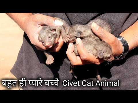 बहुत ही प्यारे बच्चे Rescue civet cat animal from Sacred Heart Convent High School Ahmednagar