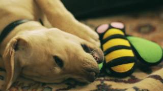 IBM is Putting Smart Puppies to Work