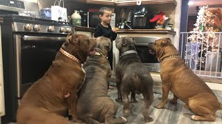 I let my 7 year old and 2 year old train my GIANT pit bulls (it's safe)