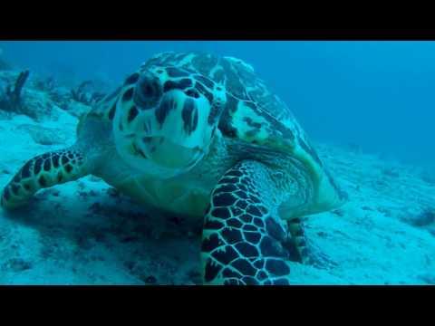 Friendly Hawksbill Sea Turtle