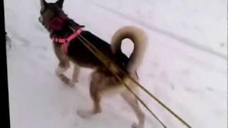 Kira the Husky