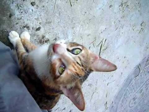 Herbal Cat 友善的三色猫