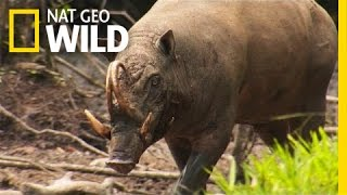 "The Bizarre ""Pig Deer"" 