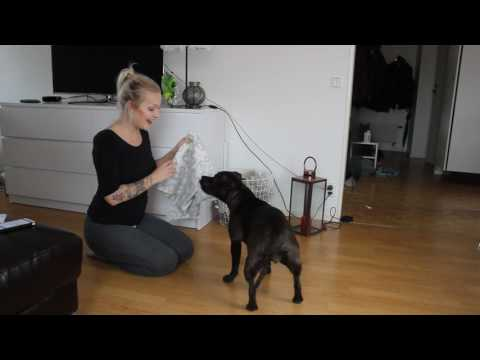 Testing my dog´s intelligence (staffordshire bullterrier)