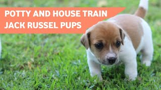 How To Potty Train A Jack Russell Terrier Puppy(+Easy Potty Training tips)
