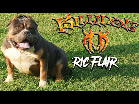 Tri Colored American Bully Stud BIG RIC FLAIR,From World Famous