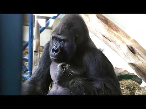 Louis The Gorilla Walks Upright At Philly Zoo