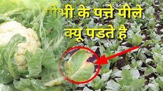Why cabbage leaves read yellow ! गोभी के पत्ते पीले कियु हो जाते है
