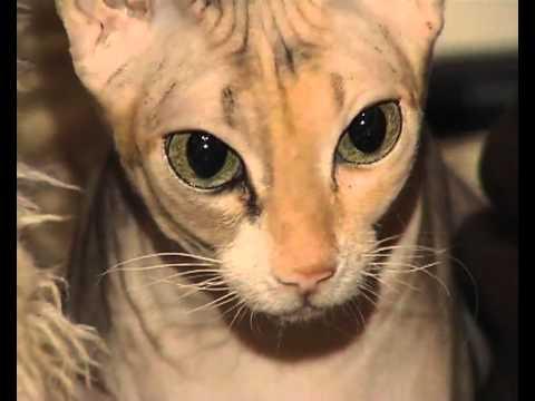 Донские сфинксы Анны Колосковой (Раманович) / Don Sphinx Cats