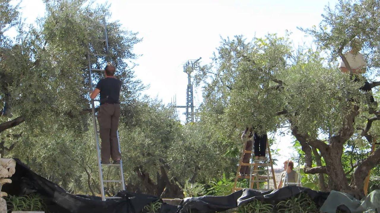 olive harvest garden of gethsemane jerusalem perhaps the world 39 s most important trees youtube