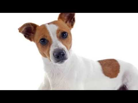 Dog Training Tips: How to train a jack russell puppy