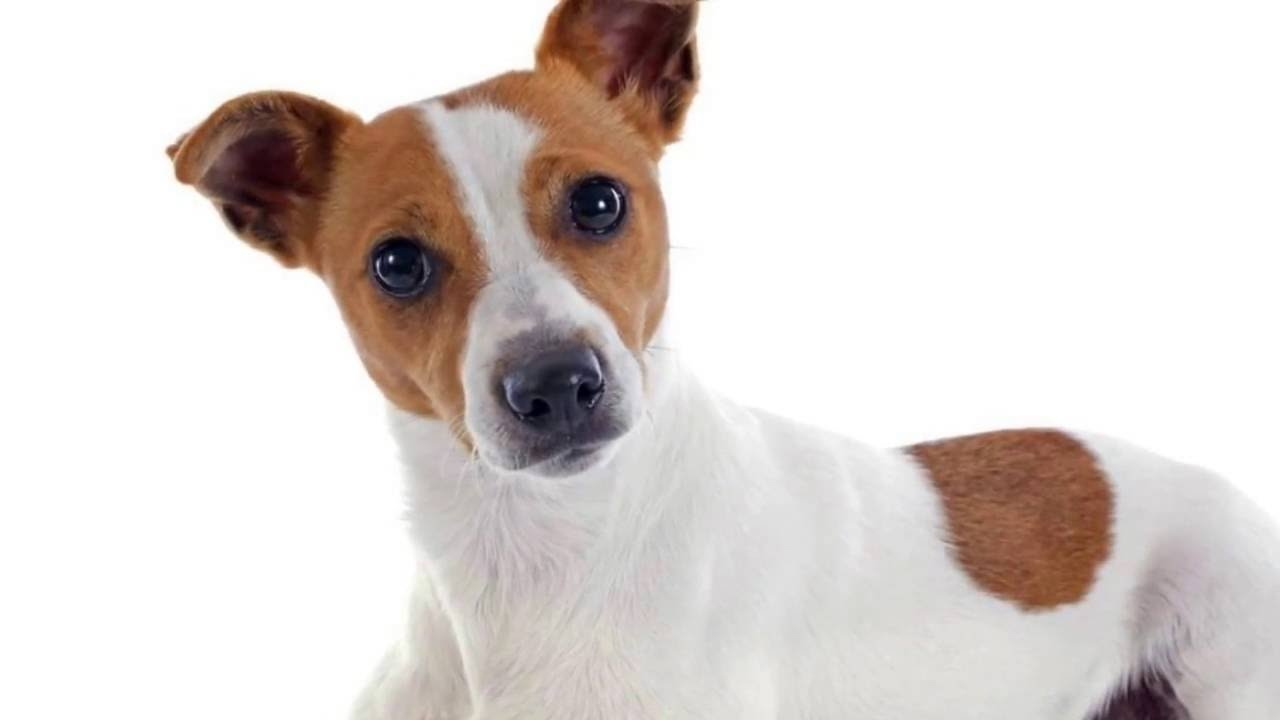 Best Training Tips To Get a Jack Russell Terrier