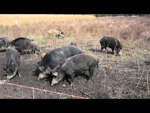 The Healthy Butcher's Road Trip 2014 – Perth County Pig Farm