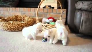 12 Weeks Old Maltese Puppies Free ( Remia, Kayla And Kelly)