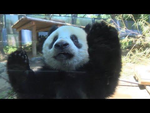 シャンシャン、カメラに興味シンシン=ジャイアントパンダ(357日齢)の映像