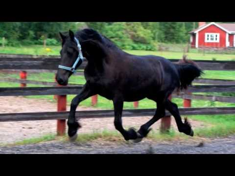 Friesians for Sale | Horses on Oodle Classifieds