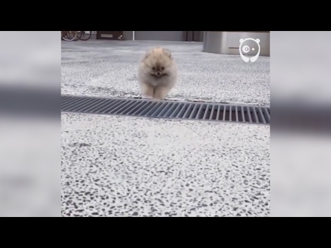Epic leap by tiny puppy