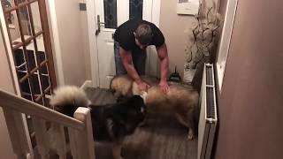 Alaskan malamute weight day part 2