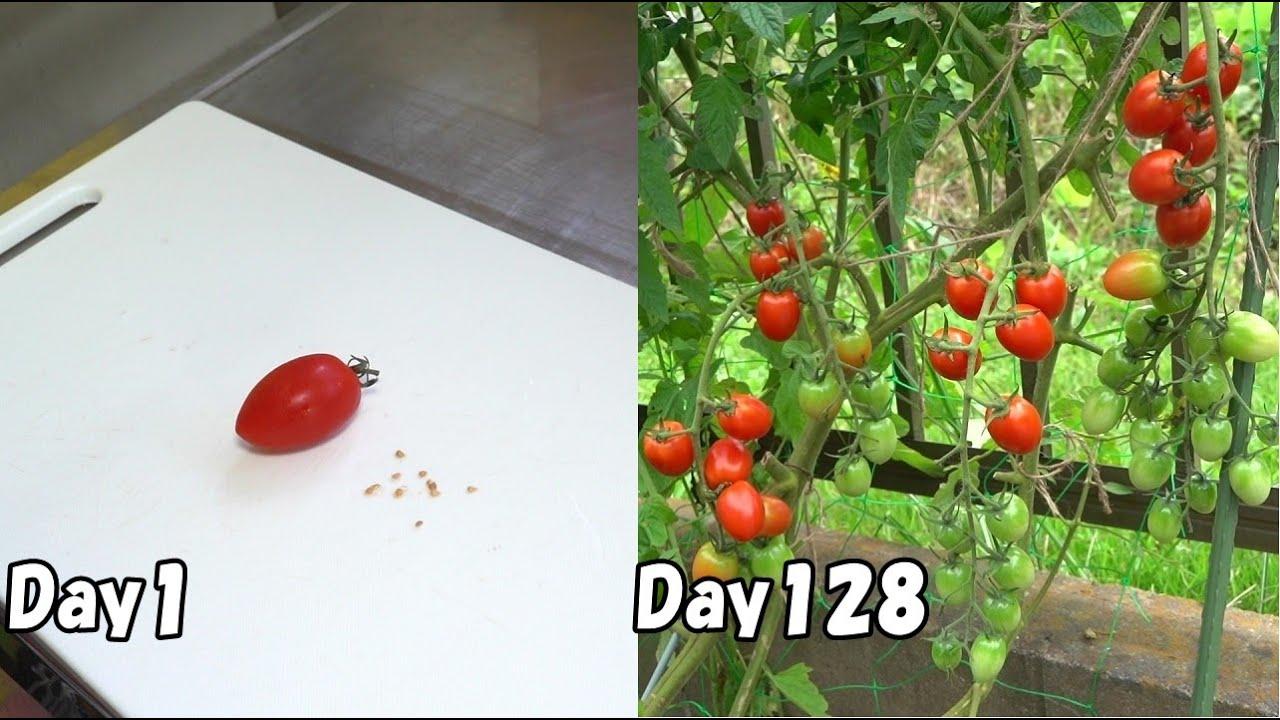 スーパーのミニトマトを放任栽培してたくさん収穫 / How to grow cherry tomatoes from store-bought tomatoes