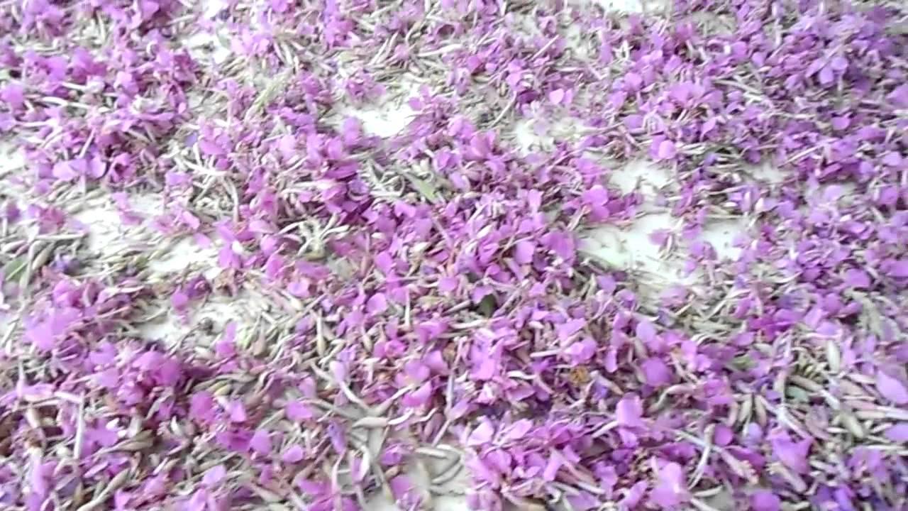 Сбор цветков иван чая